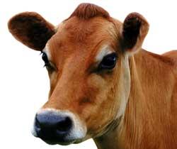 Nepal_Cow_7