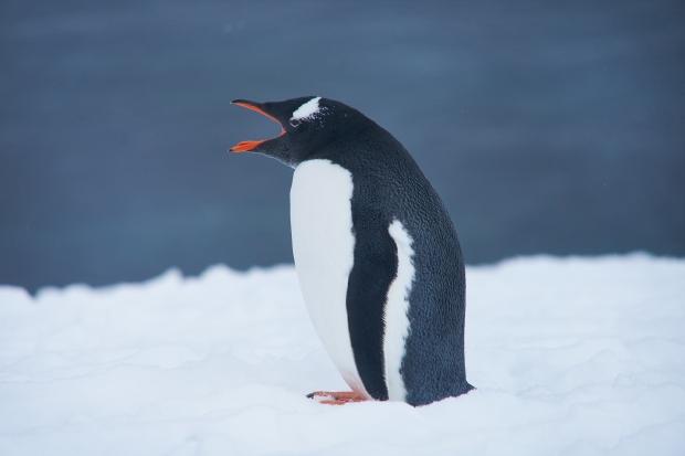 58_Penguin