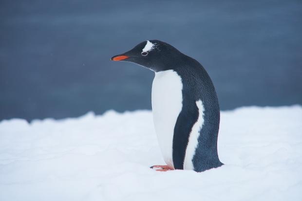 59_Penguin