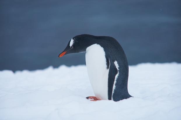 60_Penguin