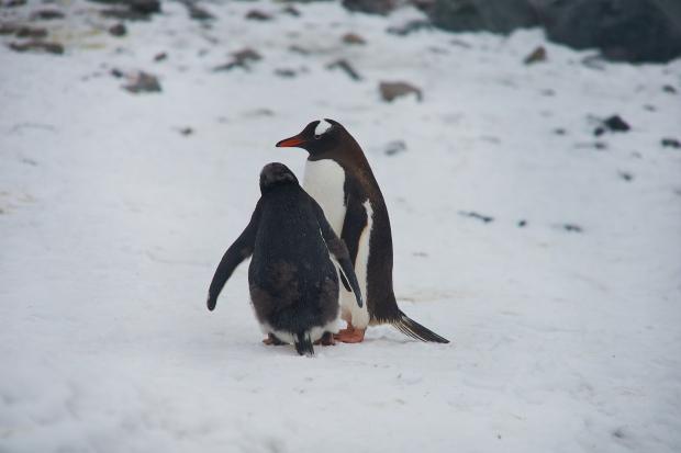 83_Penguin