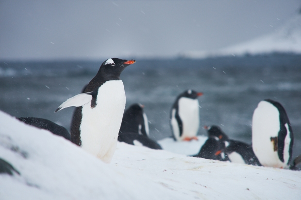Penguin_29